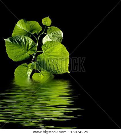 green leaves with water on black background