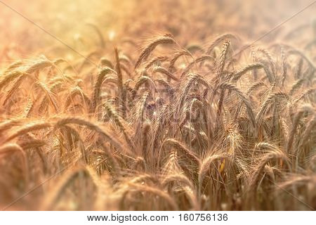 Sunset in wheat field - field of wheat indicates a rich harvest