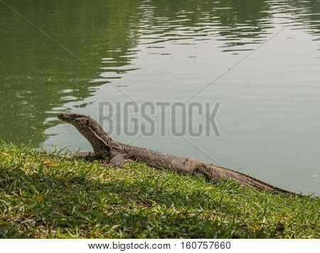 Monitor lizard sunbathing at Lumphini Park Bangkok Thailand