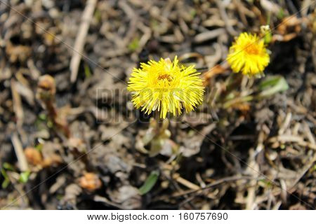 Coltsfoot flower (Tussilago farfara) on the meadow
