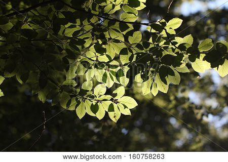 Foliage / Green leaves in sunlight .