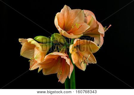 Close-up of orange amaryllis flower. Zen in the art of flowers. Macro photography of nature.