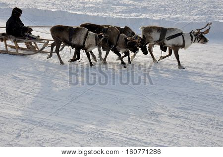 The man are sledging with deers in the snowy field track