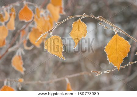 Autumnal foliage on tree branch under first hoar