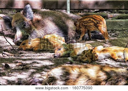 Family of Wild boars in Bialowieza National Park as a part of Belovezhskaya Pushcha National Park of Poland.