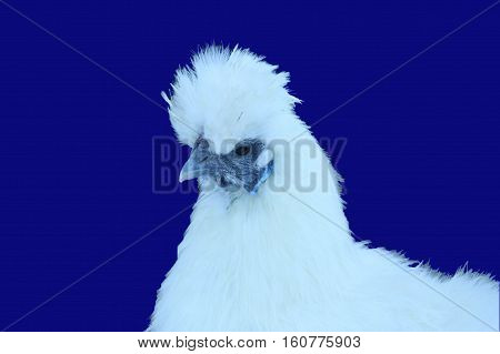 Beautiful white Chinese silk chicken on blue background