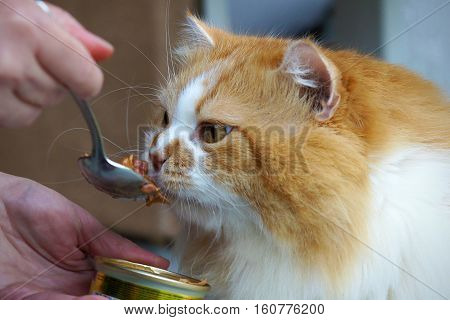 Red cat eats meat dish with a spoon which holds woman. Selective focus on cat