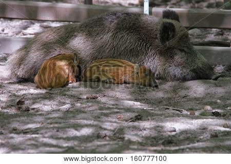 Family Of Wild Boars At Bialowieza National Park Of Poland