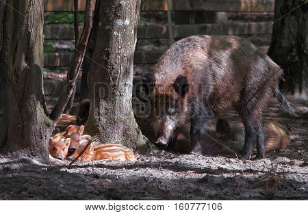 Family Of Wild Boars In Bialowieza National Park Poland
