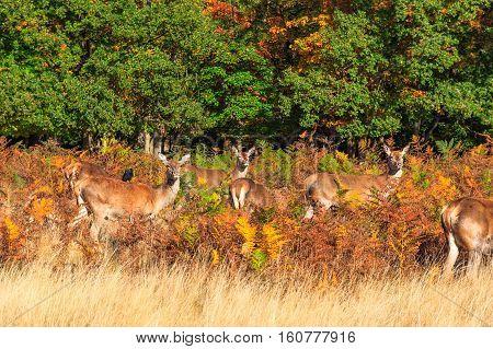 Red Deers In Richmond Park