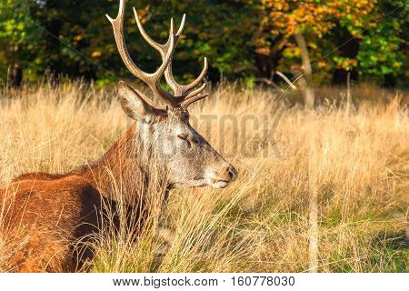 Red deer in Richmond Park London, UK