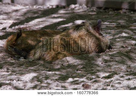 Wild Boars In Bialowieza National Park In Poland