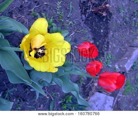 Single yellow tulip stem among red tulip stems in field on garden