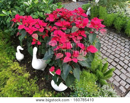 Lovely Poinsettia bush Xmas tree with ceramic duck and rock pathway in the garden