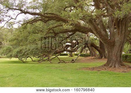 old oak trees in Louisiana near New Orleans