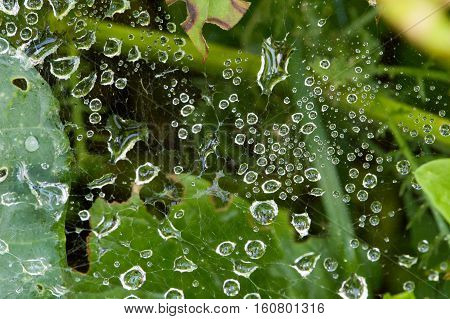 Close up of raindrops  of various sizes suspended on a spider web that is woven between dark green leaves and a stem. Some leaves have been chewed on by insects. Photographed with shallow depth of field.