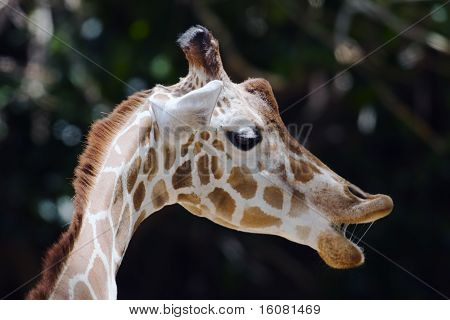 Giraffe Closeup Head Shot