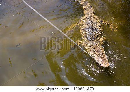The crocodile eats meat. Feeding crocodiles in Vietnam.