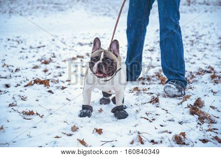 French Bulldog dog playingin the winter with man in the park