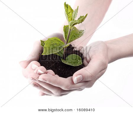 Young plant in hand over white