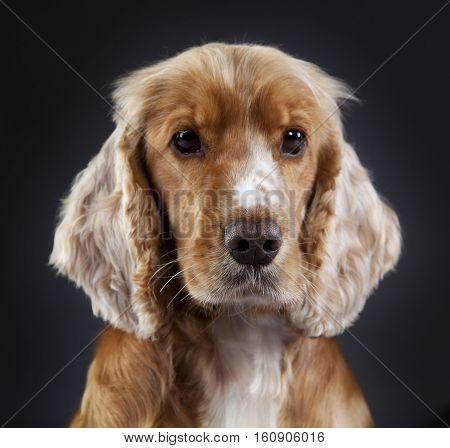Spaniel cocker portrait head on with black background