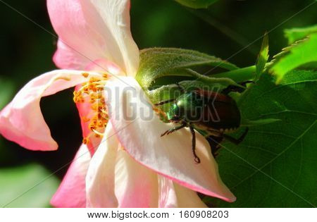 Closeup of Japanese Beetle on Pink Rose in garden extreme closeup with petals stamen  in sunlight