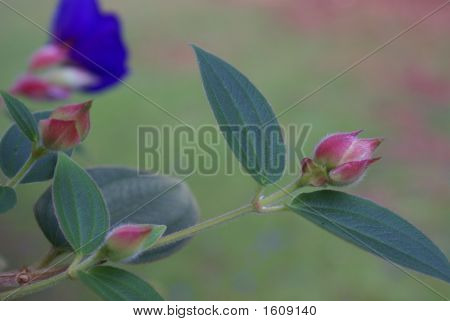 Tibouchina Lasiandra Bud And Leaf