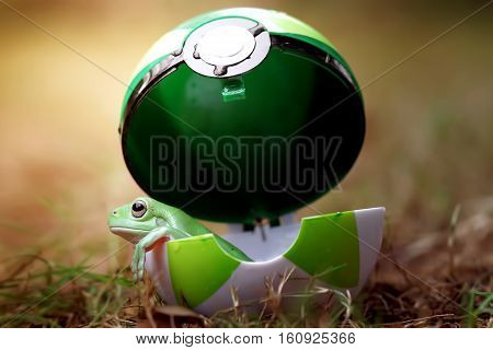 Dumpy frog, beautiful tree frog in action