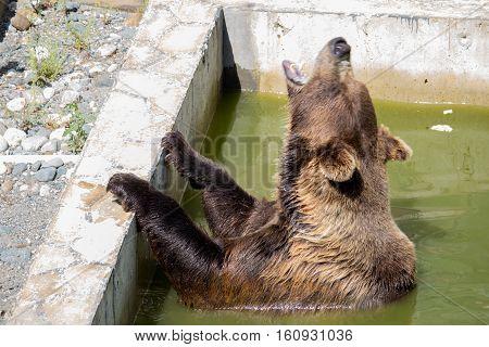 Bear growling in green water in the datyime