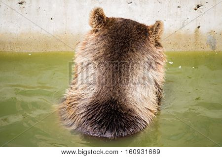 Bear sitting in green water nape in the datyime