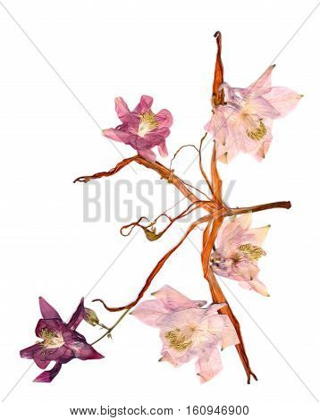 Pressed Multicolor Aquilegia With Extruded Dried Lily Petals,  Photo Manipulation