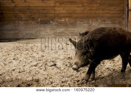 wild boar near the puddles on the background of wooden wall