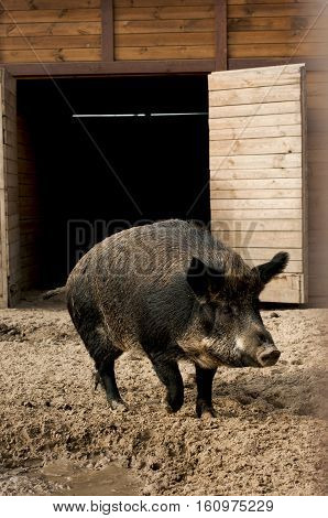 wild boar runs out of the pigsty