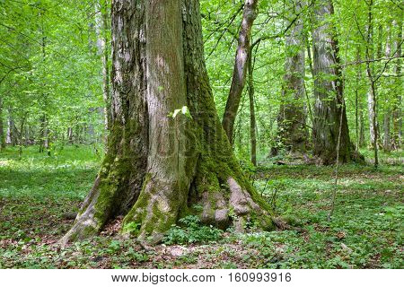 Old linden trees in sumertime deciduous stand, Bialowieza Forest, Poland, Europe