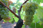 stock photo of wine grapes  - Wine Grapes Napa - JPG