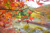 Colorful Autumn Leaf And River In Korankei, Japan poster