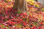Colorful Autumn Leaf In And Tree Obara, Japan. poster
