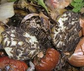 pic of woodlouse  - Woodlice feeding on kitchen waste in our garden compost heap - JPG