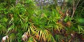 stock photo of saw-palmetto  - Understory of palmetto in the Everglades National Park - JPG