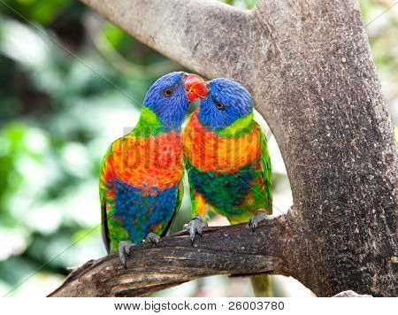Australian rainbow lorikeets. Australia beautiful birds kissing  on branch