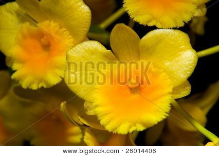 Gorgeous yellow orchid flowers on black background (Dendrobium sp) in flower garden
