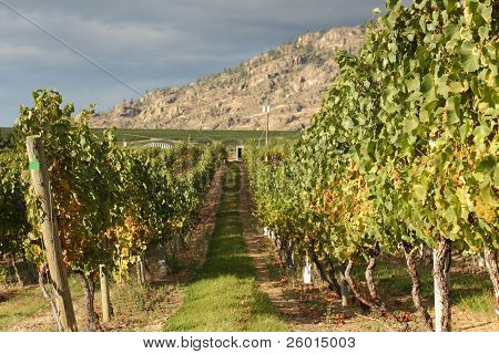 White Wine Grapes, Okanagan Vineyard