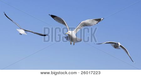 Close up of three flying gulls coming and going against a solid blue sky.