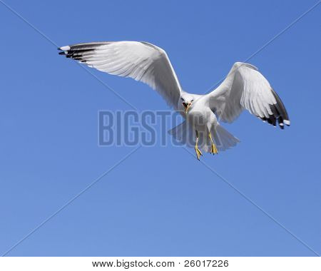 Close up of screeching gull flying against a solid blue sky.