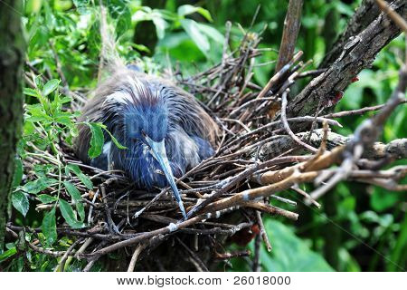 A little blue heron sitting on her nest of eggs.