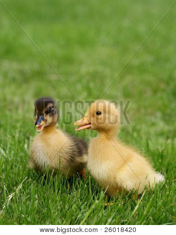 Yellow and black duckling in grass