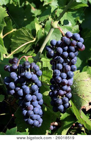 Grapes on the wine