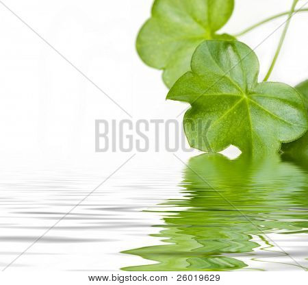 Green leaves reflecting in water