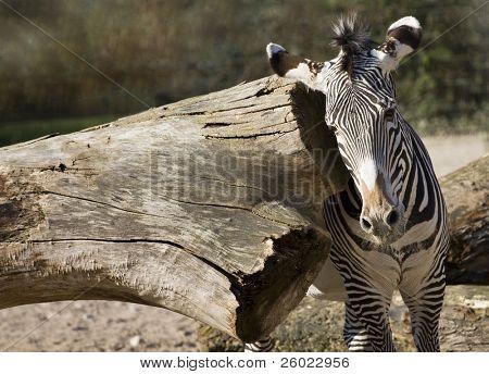 Imperial zebra (Equus grevyi)