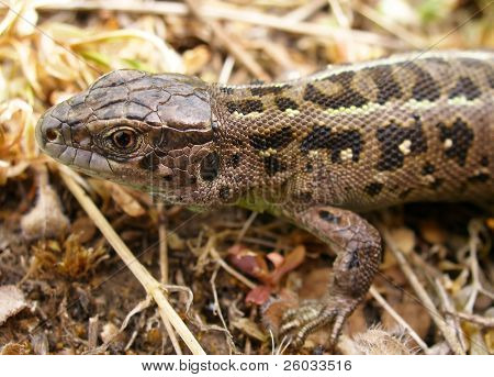 Meadow lizard
